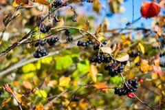Черно-приношенная плоды зола горы Стоковые Фотографии RF