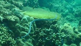 Черно-соединенное звероловство krait моря для добычи в северном Сулавеси Стоковые Фотографии RF