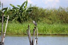 Черно-увенчанная птица цапли ночи садясь на насест на верхней части высушенного бамбука с рекой и зеленым деревом стоковая фотография rf
