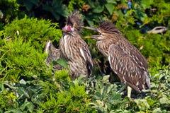 Черно-увенчанные цыпленоки цапли ночи Стоковые Фото