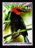Черно-bellied erythromelas Myzomela Myzomela, североамериканское serie птиц, около 1976 Стоковые Изображения