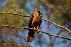 Черно--breasted канюк Стоковая Фотография RF