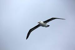 Черно-browed альбатрос Стоковое Изображение RF