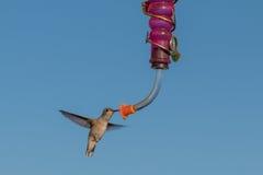 Черно--chinned колибри на фидере Стоковое Фото
