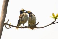 Черно-collared Starling Стоковое Изображение