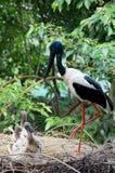 Черно-necked аист и отродье Стоковое Изображение