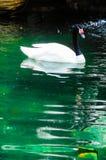 Черно-necked лебеди стоковые фото