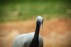 Черно-necked кран Стоковое Изображение
