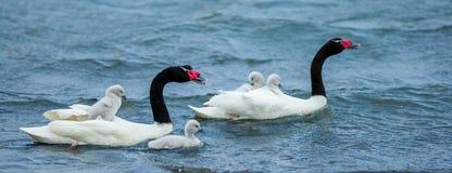 Черно-Necked пары лебедя Стоковые Изображения