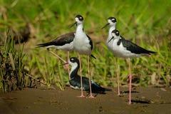 Черно-necked ходули - shorebird mexicanus Himantopus по месту обильный американских заболоченных мест и береговых линий Черно-бел стоковые фото