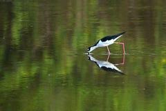Черно-necked crustaceans звероловства ходулей в болотистых низменностях Стоковые Фотографии RF