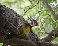Черно--Rumped Woodpecker Flameback Стоковые Изображения RF