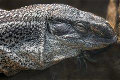 Черно-throated голова ` s монитора Стоковое Фото