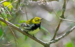 Черно-throated зеленая певчая птица стоковое фото rf
