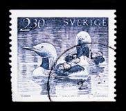 Черно-throated arctica Gavia гагары, serie птиц воды, около 1986 Стоковая Фотография
