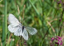 2 Черно-veined белые бабочки на одном цветке Стоковое фото RF