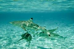 черные акулы рифа наклонили Стоковое Фото