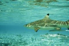 черные акулы рифа наклонили Стоковые Изображения