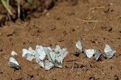 черные бабочки veined белизна Стоковое Фото