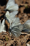 черные бабочки veined белизна Стоковые Изображения RF