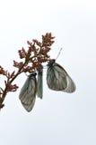 черные бабочки veined белизна Стоковые Фотографии RF