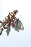 черные бабочки veined белизна Стоковое Изображение