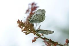 черные бабочки veined белизна Стоковое фото RF