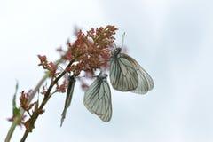 черные бабочки veined белизна Стоковая Фотография RF
