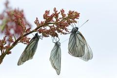 черные бабочки veined белизна Стоковая Фотография