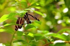 Черные & белые бабочки зебры в aviary Стоковая Фотография