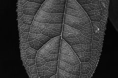 Черные белые лист текстуры Стоковые Изображения RF