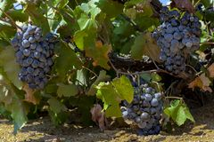 Черные виноградины вина на лозе на vinery в острове Tenedos Bozcaada Эгейским морем стоковая фотография