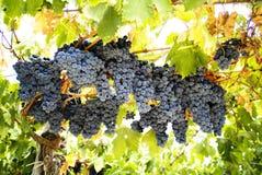 черные виноградины Стоковые Изображения RF