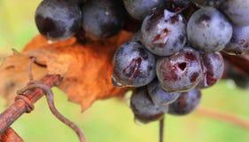 черные виноградины Стоковая Фотография RF
