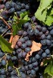 черные виноградины Стоковое Изображение RF