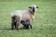 Черные возглавленные овцы в зеленом луге с выпивая овечками стоковое изображение rf
