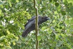 Черные вороны на ветвях дерева Стоковая Фотография