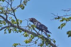 Черные вороны на ветвях Стоковая Фотография