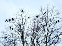 Черные вороны садились на насест в ветвях или чуть-чуть дереве зимы Стоковая Фотография RF