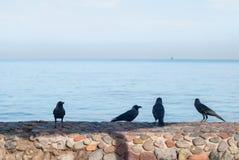Черные вороны стоя на каменном поиске загородки еды на запачканной предпосылке моря Стоковая Фотография RF