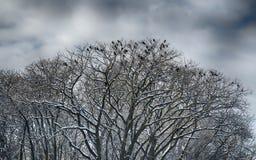 Черные вороны Стоковое Фото
