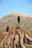Черные вороны Стоковые Фотографии RF