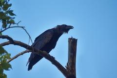 Черные вороны Стоковые Фото
