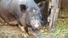 Черные въетнамские свиньи в клетке на ферме акции видеоматериалы
