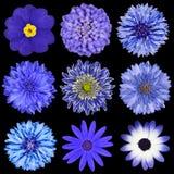 черные голубые цветки изолировали выбор Стоковые Фото