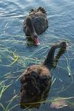 Черные лебеди ища для еды Стоковая Фотография RF