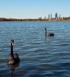 черные лебеди Стоковое фото RF