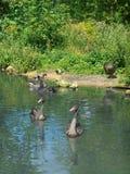 черные лебеди Стоковые Фотографии RF