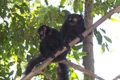Черные лемуры (macaco Eulemur) Стоковое фото RF