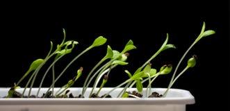 черные зеленые изолированные saplings Стоковое Изображение